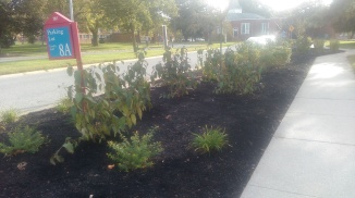 Some of the shrubbery planted near the Greek plots (not pictured) (Photo: Jasmine Saunders)